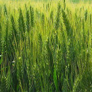 El cultivo de trigo, cereal muy apreciado para la alimentación humana, requiere aportes de micronutrientes como nitrógeno, fósforo, potasio y cobre. La temperatura óptima de germinación es de 20-25º C y precisa de unos 500mm de agua.