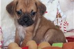 Puggle Puppy for Sale: Hutch - Pocket Puggle - c11476f5-da31
