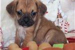 Puggle Puppy for Sale: Hutch - Pocket Puggle - c11476f5-da31