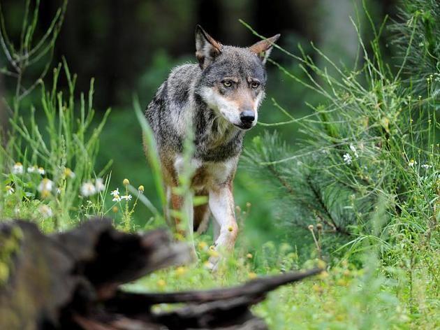 Zwei Wölfe in Niedersachsen verfolgten einen jungen Mann und seinen Hund. Sie gehören einem Rudel an, das nur wenig Scheu gegenüber Menschen zeigt.
