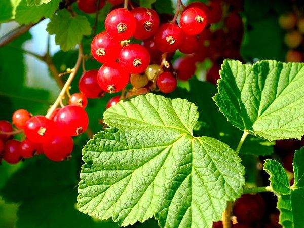 Edible Garden Newsletter October 2017 -  Edible Garden Newsletter October 2017 focuses on growing Currants shrubs and fruits that are as beautiful as they are edible. We also look at a popular garden myth the use of Epsom Salts to improve plant vigour. Finally we discuss the value in growing plants from Heritage Seeds.