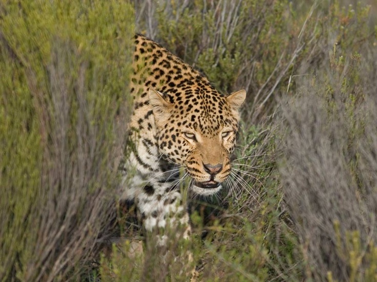 Amazing shot of a Leopard emerging from the long grass. Taken at Aquila Game Lodge. South Africa
