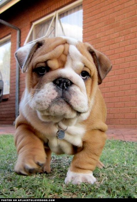 Look out, everyone move out of the way!!  Bulldog puppy cuteness coming through!!