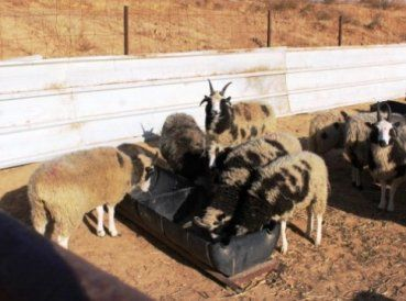 Se creía que esta raza de ovejas se había extinguido, pero gracias a los agricultores judíos de Canadá, regresarán a su tierra donde sus rebaños eran comun
