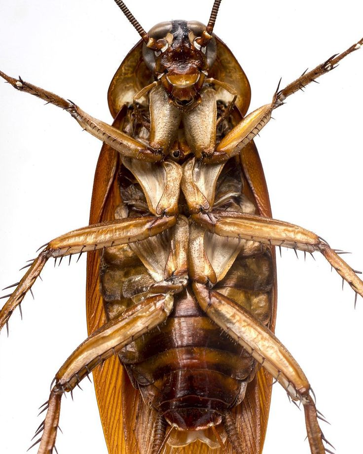 « @robertclarkphoto The German Brown Cockiroach is one of the most widely distributed species of cockroach that are a domestic pests, it probably is the… »