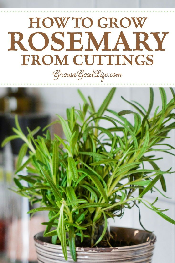 How To Propagate A Rosemary Plant From Stem Cuttings Rosemary Plant Growing Rosemary Plants