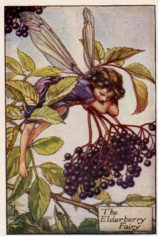 Vlierbes Flower Fairy Vintage Print, c.1927 Cicely Mary Barker-boekillustratie plaat
