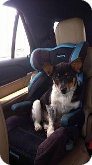 Denver, CO - Corgi Mix. Meet Numa, a dog for adoption. http://www.adoptapet.com/pet/18008969-denver-colorado-corgi-mix