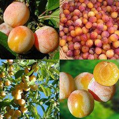 """Mirabelle Plum - """"Mirabelle de Nancy"""" - Prunus Insititia - Exotic Fruit Tree - 5 Seeds"""