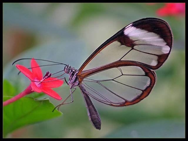 Greta oto - Farfalla dalle ali trasparenti!