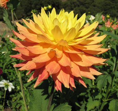 Dahlias - Suncatcher: Semicactus Dahlias, Suncatchers Dahlias, Semi Cactus Dahlias, Dahlias Dalia