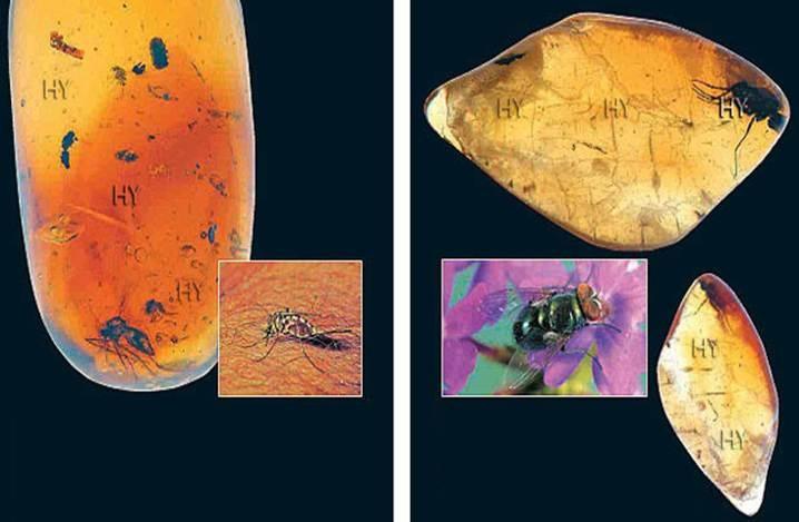 Sivrisinek (yukarıda solda)     Dönem: Senozoik zaman, Oligosen dönemi  Yaş: 25 milyon yıl  Bölge: Dominik Cumhuriyeti    Kara Sinek (yukarıda sağda)     Dönem: Senozoik zaman, Eosen dönemi  Yaş: 45 milyon yıl  Bölge: Litvanya