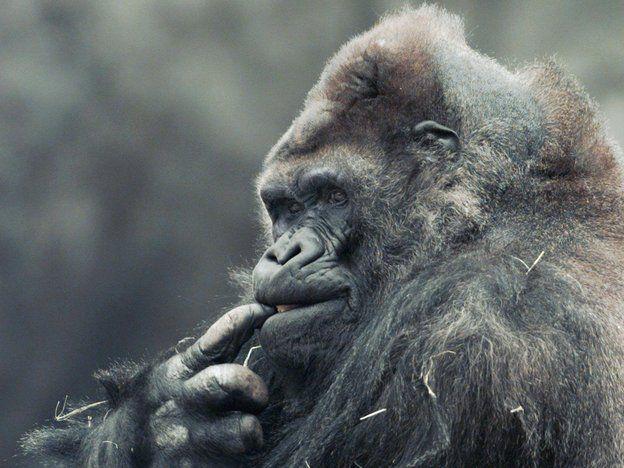 The life of Ivan the Gorilla