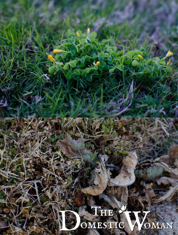 Rid weeds from your lawn!  My simple, easy and cheap tactics.