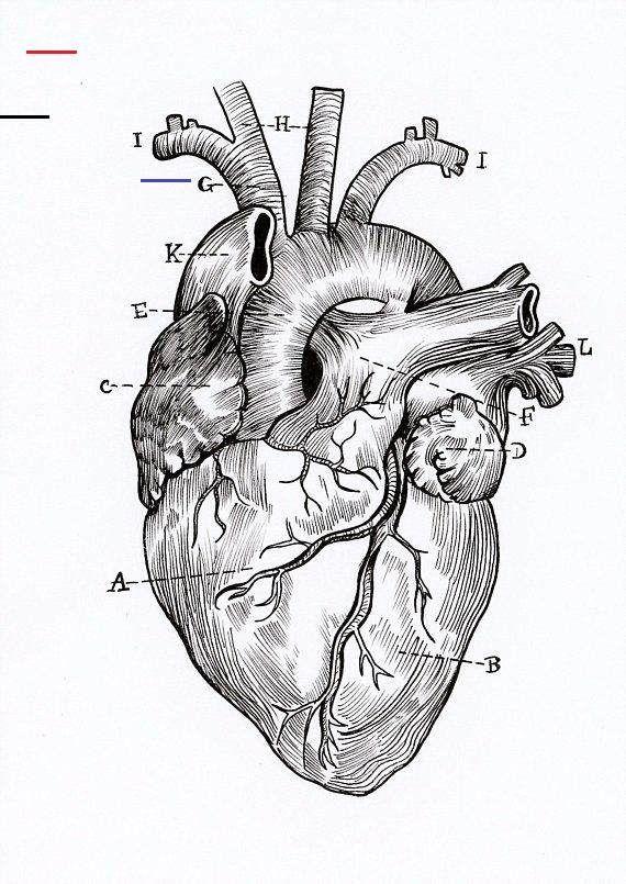 A5 Print - Anatomical Heart Diagram A5 High Quality Print ...