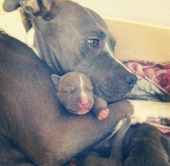 24 Reasons Why No One Should Ever Have A Pit Bull As A Pet They're just so cute!!