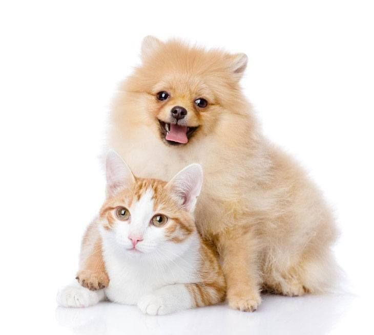 pomeranian and cats 170 best images about pomaranians on pinterest teacup 4629