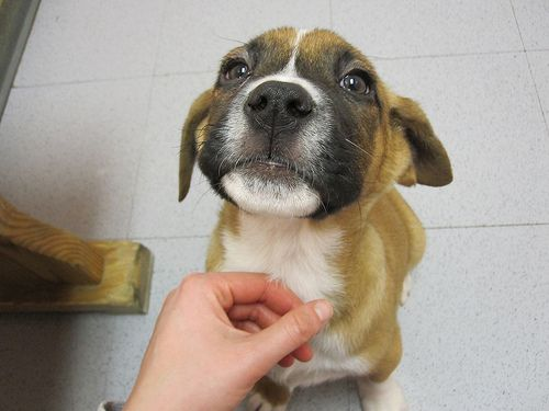 Boxer Lab Mix   photo this is what my dog looks like