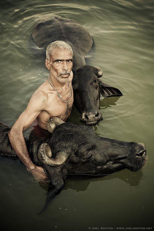 Buffalo herder giving his Buffaloes a holy dip in river Ganges, Varanasi, India.  Photo by Joel Santos