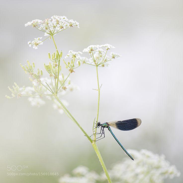 Banded Demoiselle on wild chervil by ErikVeldkamp #nature #photooftheday #amazing #picoftheday