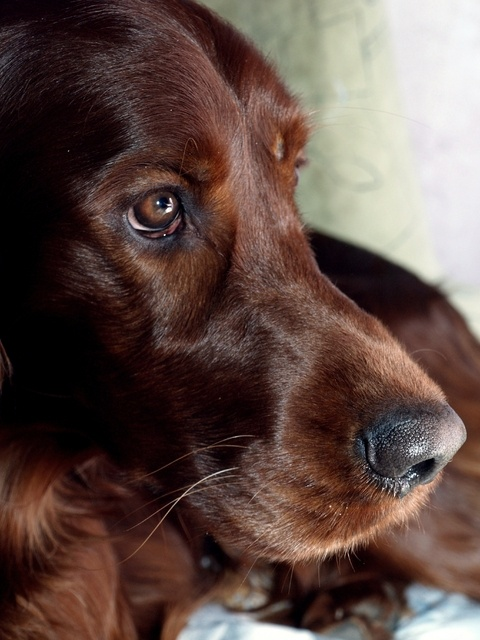 Love Irish Setters love the darker color..looks like one i had when a little kid