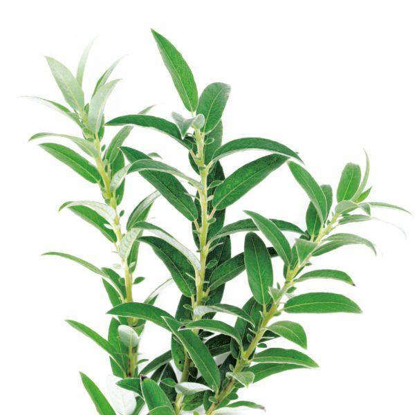 Wierzba - Salix 'Subopposita'