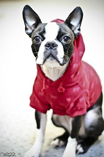 Boston Terrier wearing an american apparel dog hoody