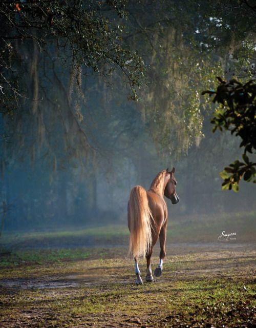 Arabian Horse.Learn about #HorseHealth #HorseColic http://www.loveyour.horse