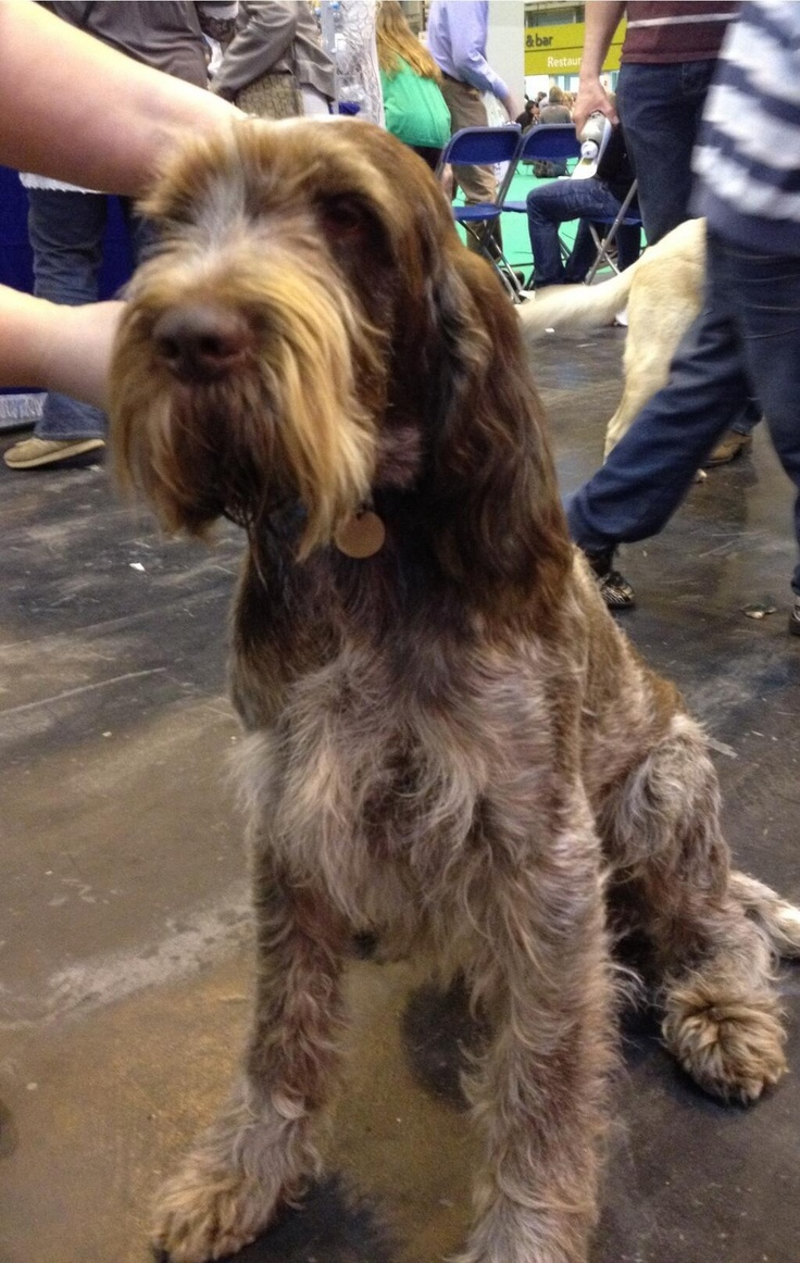 Image of italian spinone brown roan young puppy blue sitting cute - Crufts This Is Willie Wonka The Italian Spinone What A Fabulous Name