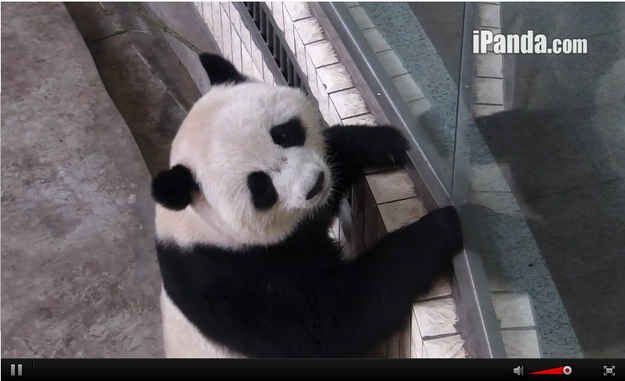 ...then he looked at us and we were all like 'GIVE HIM FOOD!!' | 9 Moments When The Pandas On Chengdu's Panda Cam Were Too Cute To Handle