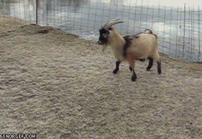 Pretty much any goat GIF. | 29 Things That Will Make You Grin Like An Idiot However Badly Your Day's Going