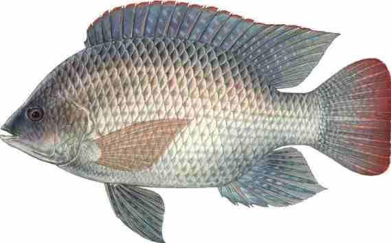 Best 25 tilapia farming ideas on pinterest for Tilapia fish farming