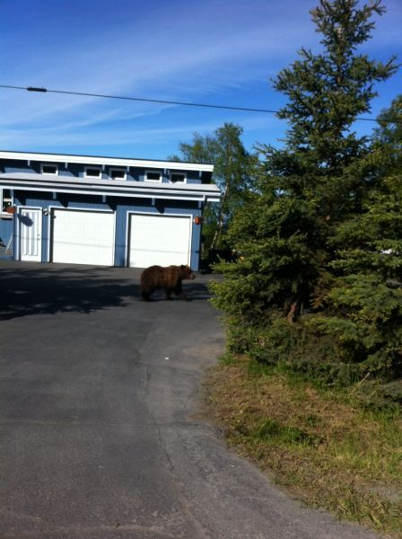A brown bear pokes around near a home on Anchorage's south side, in a photo by Lee Leschper.: South Side, Bear Pokes, Anchorage S South, Lee Leschper, Brown Bears, Photo