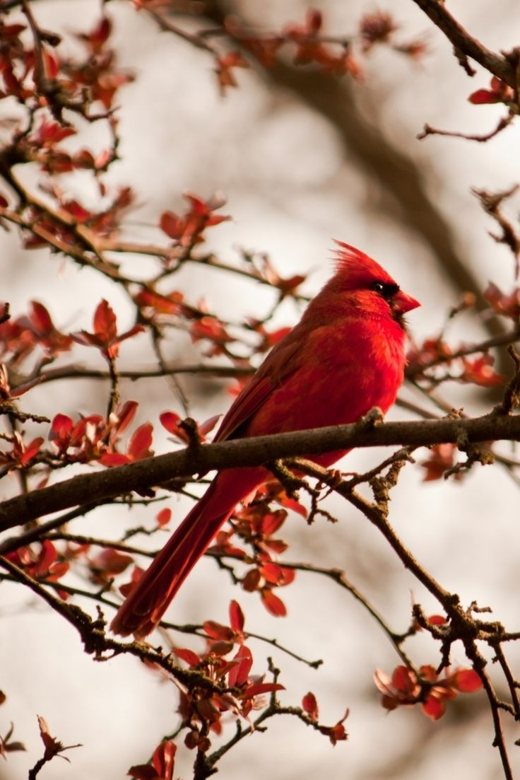 Co color cardinal red - Cardinal