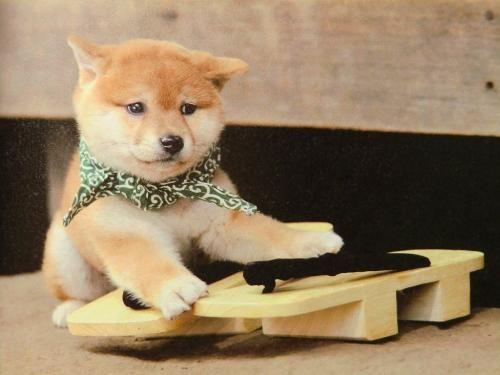 柴犬, Shiba Inu.豆助@和風総本家, 「日本っていいな。」<3 ~lisa