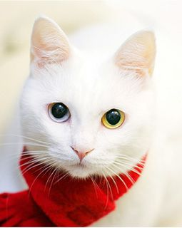 Awww, my cats will need scarfs next winter.  What a pretty cat with different colored eyes.  I've seen other white cats with the mixed eyes.