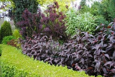 While more of a deeper maroon than true black, the Persicaria 'Red Dragon' offers several seasons of interest.  The moment its lance-shaped leaves emerge in early spring the excitement starts.  A crescendo is reached in mid-summer when the towering 6′ plant is covered with airy, white blooms that last for months.
