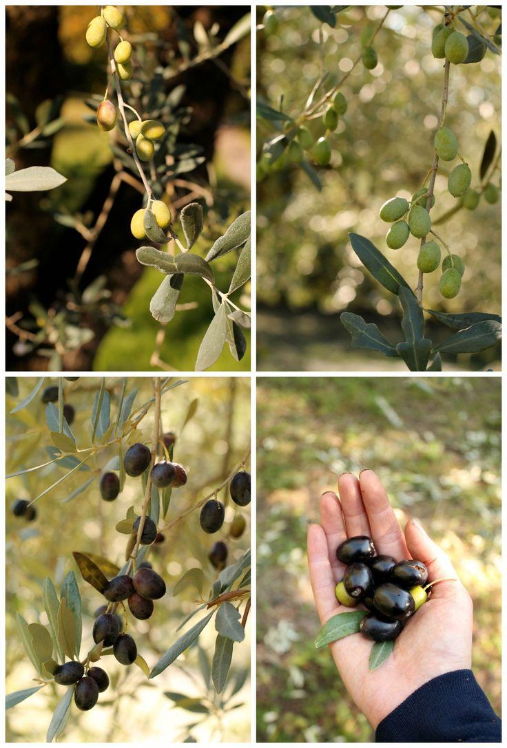 olio-extravergine-del-Garda