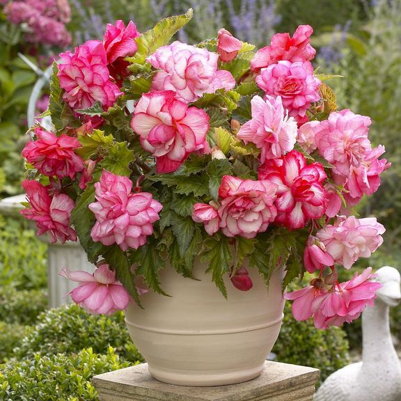 85 best begonias images on pinterest gardening begonia and container garden. Black Bedroom Furniture Sets. Home Design Ideas