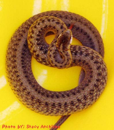 Texas Brown Snake (not fun to play with b/c they put off a stink when you bug them; need to fact check this - LS)