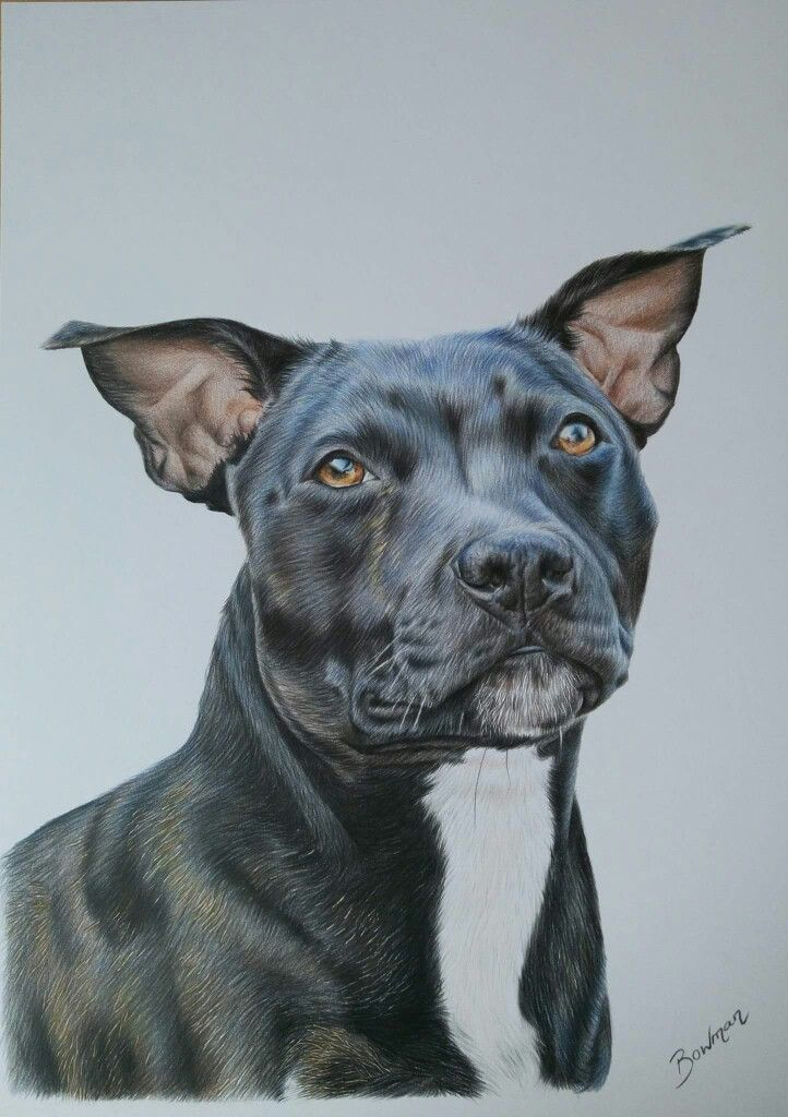 Staffordshire bull terrier in coloured pencil Dog portrait by Katie Bowman www.personalartwork.co.uk
