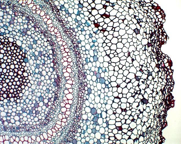 Vascular bundle of a Fern Rhizome. Microscopic cross-section of xylem and phloem cells by Michael Clayton.