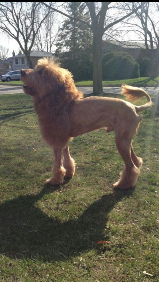 So a girl at my school shaved her dog to look like a lion