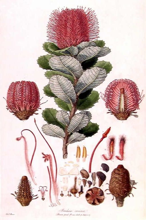 Scarlet Banksia, Banksia coccinea by Ferdinand Bauer from Illustrationes Florae Novae Hollandiae, early 19th century