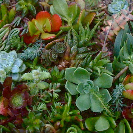 18 SUCCULENT CUTTINGS, SUCCULENT Plants, to start your Succulent Garden, Vertical Wall, Dish Garden, Wreath on Etsy, $9.50