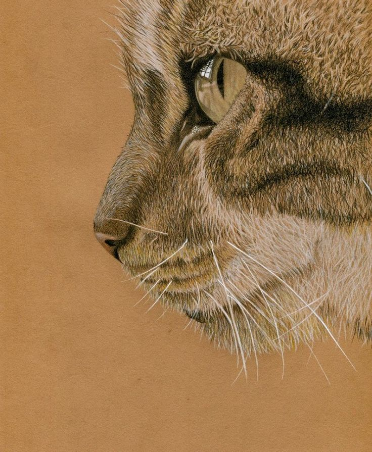 Coloured pencil drawing tutorial - Molly the cat - Clare Willcocks Art
