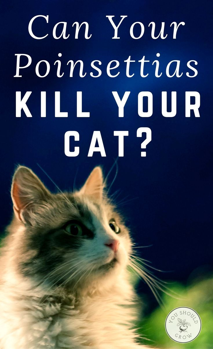 Complete Veterinary Guide To Poisonous Houseplants You Should Grow Poinsettia And Cats Cat Safe Plants Cat Care