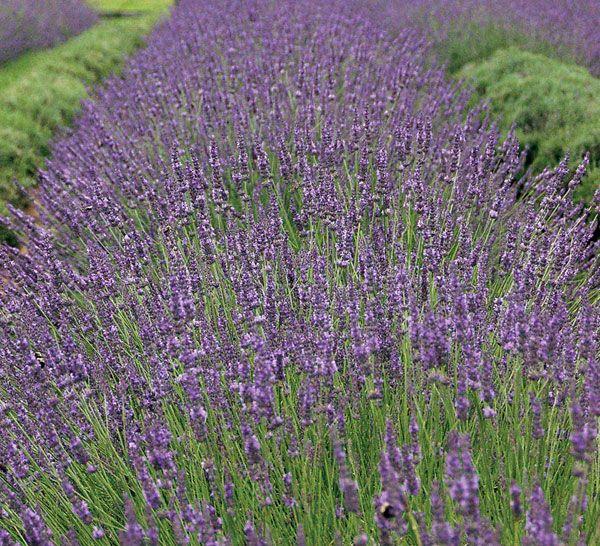 Phenomenal Lavender Plants Growing Lavender Perennials