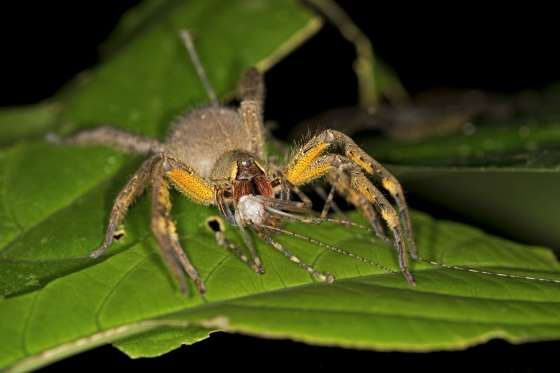 Brazilian Wandering Spider or Banana Spider - Guenter  Fischer / imageBROKER/REX Segundo o livro Guinness de Recordes, as aranhas armadeiras são as mais venenosas do mundo e apenas uma gota do seu veneno pode matar.
