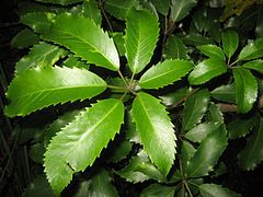 Pseudopanax arboreus or Five Finger  It is one of New Zealand's more common…
